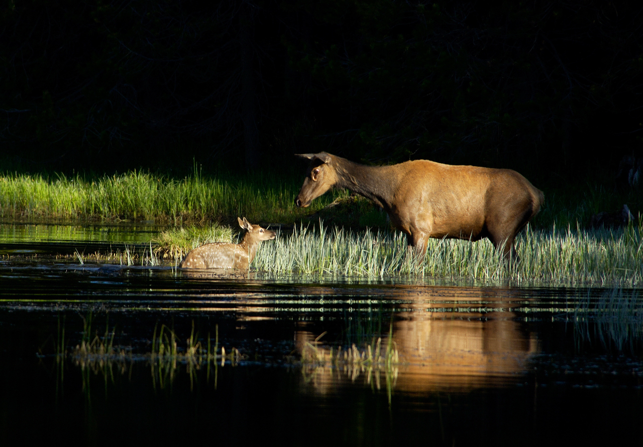 Elk and Calf In Early Morning Light